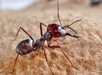 Levideózták a világ leggyorsabb hangyáját, 85 cm/s sebességgel rohan