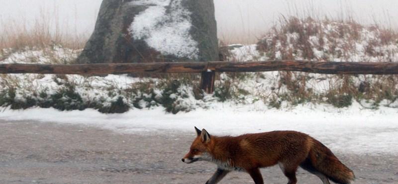Hétvégén kezdődik a rókák veszettség elleni vakcinázása