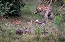 Mohó piton támadt egy leopárdra – nem kellett volna (videó)