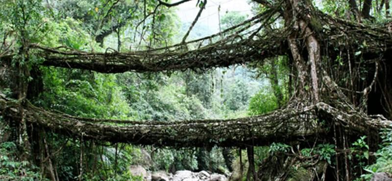 Fantasztikus élő gyökérhidak Indiában (fotókkal)