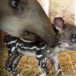 Bemutatkozik a látogatóknak a legkisebb szegedi tapír