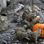 Töklámpásból kaptak enni a szurikáták a fővárosi állatkertben – fotók