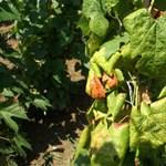 Már a Dunától keletre is megjelent a rettegett szőlőbetegség