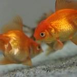 Agresszívvé válnak a díszhalak egy szűk akváriumban