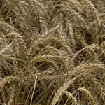 Elsőként engedélyezte génmódosított búza termelését Argentína