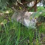A fél város az eltűnt polgármester-macskát keresi Gödöllőn
