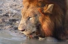 Videó: Addig bosszantotta a teknős az oroszlánokat, hogy azok inkább leléptek