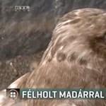 Félholt egerészölyvvel sétált be az áramszolgáltatóhoz a madármentő állomás vezetője