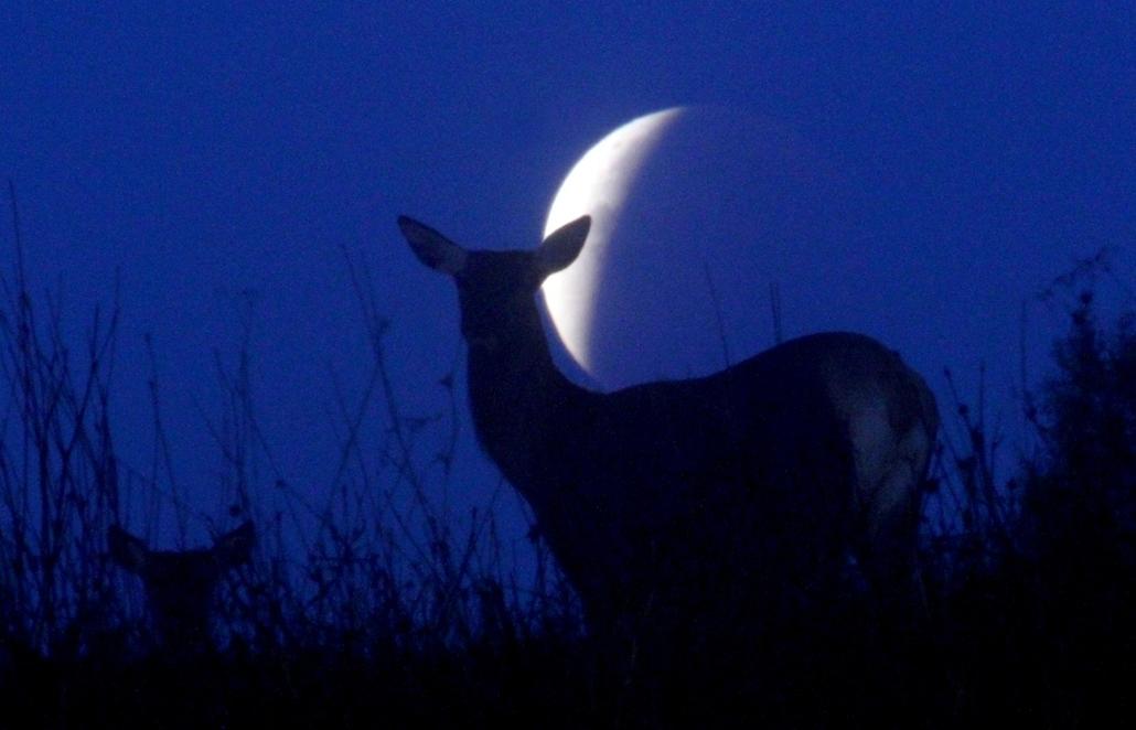 afp.15.09.28. - Yavterishki, Fehéroroszország: rénszarvas Yavterishki határában - holdfogyatkozás, szuperhold