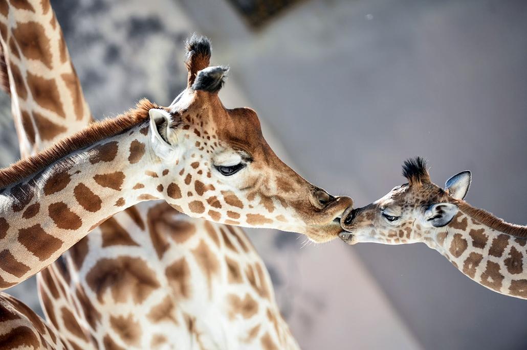 AFP - Nagyítás - Állati 2016 - 16.12.31. - Kenai névre hallgató zsiráfkölyök anyjával Dionival a északnyugat francia La Flèche település állatkertjében