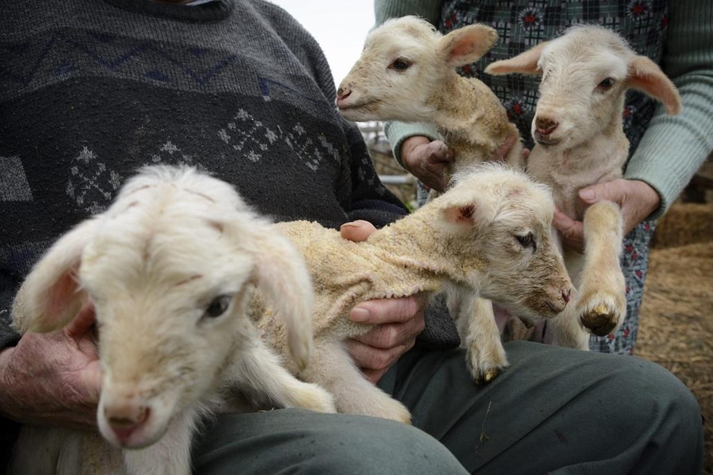 mti. Négyes bárányikrek születtek Derecskén, Derecske, 2014.12.14. Négyes bárányikrek Szabó Lajos derecskei gazda portáján 2014. december 14-én. A ritkaságnak számító négyes ikrek előző napon születtek, az anyajuh harmadik vemhességéből.