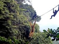 Kötélhidat kaptak ajándékba a majmok, akik csak a fákon tudnak mozogni – videó