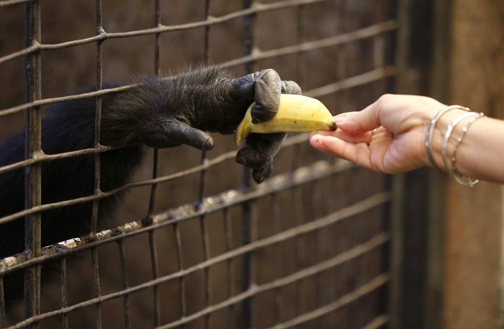 7képei 0308 - A CITES országok tanácskozása Bangkokban2013. március 7.Banánt kap egy csimpánz egy látogatótól egy bangkoki állatkertben 2013. március 7-én. A veszélyeztetett vadon élő állat- és növényfajok nemzetközi kereskedelméről szóló egyezményt (CITE