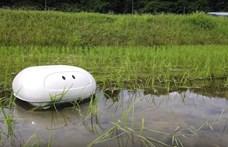 Kacsát játszik a japán robot, a rizsföldeken segíthet gyomlálni