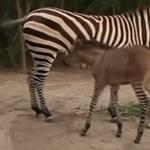 Imádnivaló kisállat született egy zebra és egy szamár románcából - videó