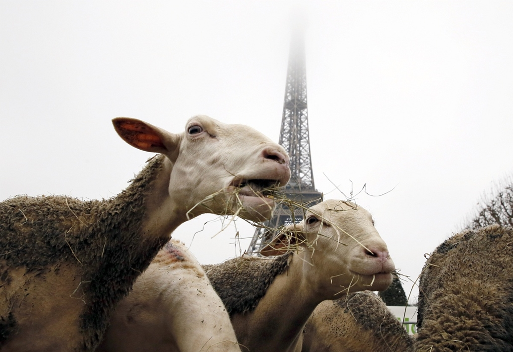 afp. 2014. állatos nagyítás, 2014.11.27. birkák tüntetnek, Párizs, Franciaország, Eiffel-torony, Sheep graze at the Champ de Mars near the Eiffel Tower in Paris during a protest by farmers demanding an effective plan by the ecology ministry to fight again