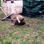 Videó: Egy mező közepén találtak rá egy fókára Angliában