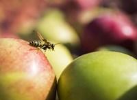 Túl jó volt tavaly a termés, drágább lehet idén az alma