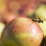 A tavalyi fele lehet az almatermés, drágulhat a gyümölcs