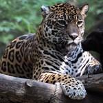 Acélkábeleket rágott szét, így lépett meg a helyéről a New Orleans-i állatkert jaguárja