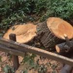 Feleslegesen vágtak volna ki több mint 100 fát Budapesten