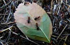Találtak egy hangyát a kutatók, ami összezsugorítja, majd vissza is növeszti az agyát