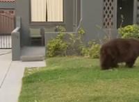 Hatalmas medve látogatott a kertvárosba