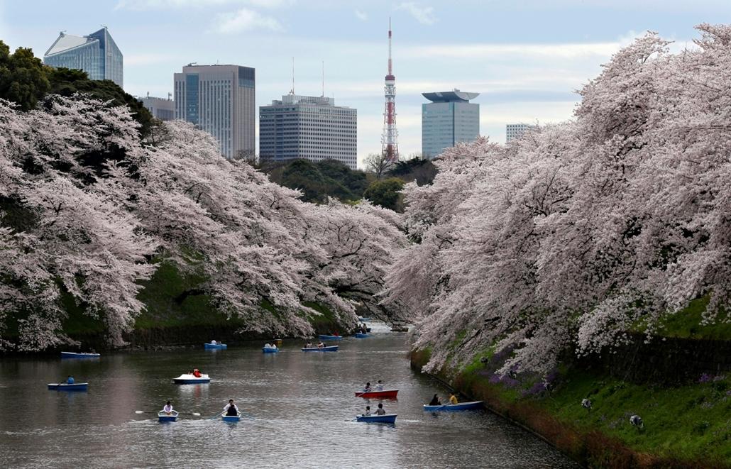 !!! AP - ápr. 15-ig !!! - Tokió, Japán: Csónakázók a virágba borult cseresznyefaágak alatt a tokiói Csidorigafucsi Parkban 2016. április 4-én.