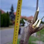 Az összes frissen ültetett fát derékba törte egy 16 éves fiú Mórahalmon