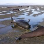 Fotók: Gömbölyűfejű delfinek vetődtek partra, 61 elpusztult