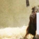 Nem csak emberek szeretik - speciális iPad, orángutánoknak