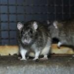Itt a főváros kisokosa az intenzív patkányirtás idejére