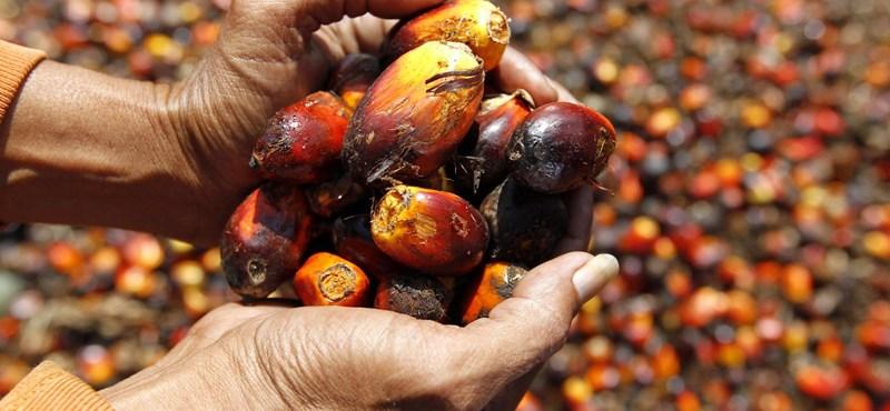 Lehet-e fenntartható a pálmaolaj?