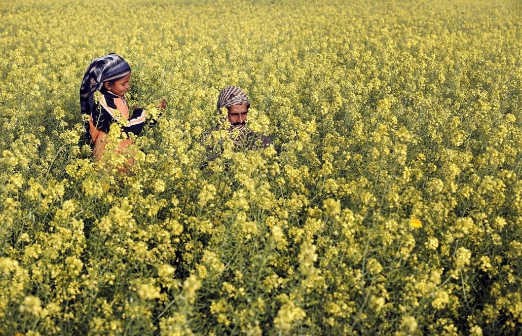 afp.14.03.20. - Gáza: palesztin férfi lányával a mustár virágai közt  - 7képei