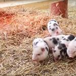 Boldogan majszolnak almát új helyükön a debreceni törpemalacok – videó
