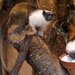 Galéria: különleges majmocskák érkeztek Szegedre