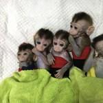 """""""Legyártottak"""" öt majmot Kínában, hogy megtalálják az alvászavar gyógymódját"""