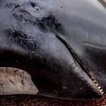 Van, amin a koronavírus sem változtat: elkezdődött a bálnavadászat szezonja a Feröer-szigeteken