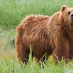 Egy medve már a déli határnál jár