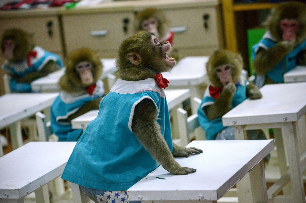 AFP - Nagyítás - Állati 2016 - 16.12.31. - 2016-ra beköszöntött a Majom éve. Iskolapadba ültek a majmok a február 8-án kezdődő Holdújév kapcsán a Kína keleti részén fekvő Santung tartomány dongying-i állatkertjében.
