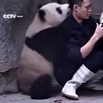 Edinburgh feladta: egy darabig nem próbálják megtermékenyíteni az óriáspandákat