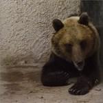 Leszedte nyomkövetőjét a Magyarországot bejáró medve
