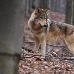 Kutatás: Így neveld, vagy inkább ne neveld a farkasod