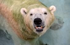Párzó jegesmedvékkel kívánt boldog karácsonyt egy brit bevásárlóközpont