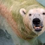 Embert ölt egy jegesmedve