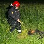 Fotó: Vaddisznó okozott halálos balesetet Jánoshalmán