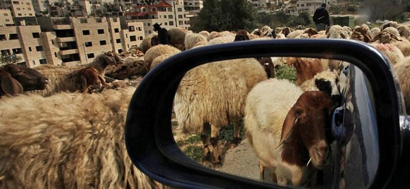Biogyilkosok ölik le a kecskéket, majd elpusztulnak