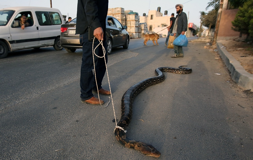 afp. 2014. állatos nagyítás, kígyó, 2014.09.27. BETUNIA : Palestinian Jamal al-Amuasi displays one of his pythons as his son (background) holds a Tibetan Mastiff outside his house in Betunia, near the West Bank city of Ramallah, on September 27, 2014. Amu
