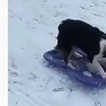 Videó: A lelkesen szánkózó kutyánál ma már nem lesz cukibb