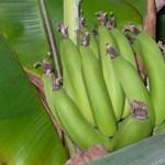 Megdöbbentő felfedezés: víztisztítás banánhéjjal